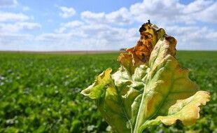 Un champ de betteraves sucrières atteint par la jaunisse (image d'illustration).