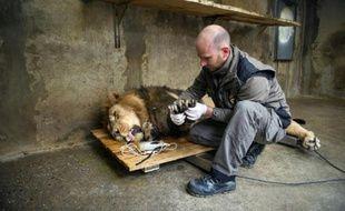 Jetpuhr, un lion d'Asie mâle âgé de 12 ans, a quitté le zoo de Mulhouse pour rejoindre celui de Dudley en Angleterre, dans le cadre du programme de conservation de cette espèce très rare, le 29 octobre 2015
