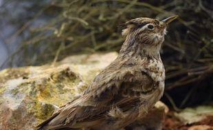 L'alouette des champs (photo), la fauvette grisette ou le bruant ortolan -des espèces spécialistes des milieux agricoles- ont perdu en moyenne un individu sur trois en quinze ans.