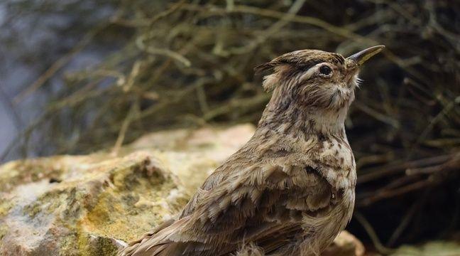 Piégeage d'oiseaux : Les chasses traditionnelles autorisées malgré l'avis du Conseil d'Etat