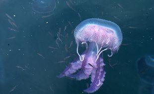 La méduse Pelagia