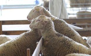 Parmi les 40 moutons, 16 ont été découverts dans le noir du sous-sol de la maison du couple de Haut-Rhinois. Illustration