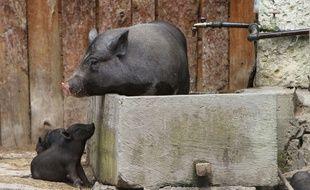 Illustration d'un cochon vietnamien