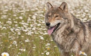 Le loup, entre attraction et répulsion.