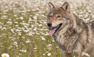 Le loup est aux portes de Nîmes.