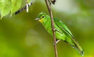 Photo non datée reçue le 6 octobre 2015 montrant un verdin à ailes jaunes, une espèce endémique, dans la forêt à Bislig, dans le sud des Philippines