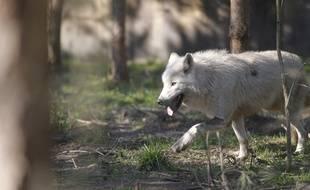 Vosges: des défenseurs du loup, munis de cors de chasse, veulent en empêcher le recensement (Illustration)