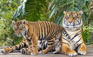 Image d'illustration d'une tigresse et son petit.