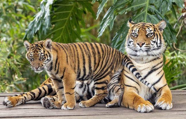 648x415 image illustration tigresse petit