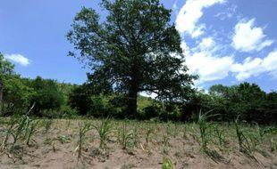 Champ de maïs victime de la sécheresse, le 26 juillet 2015 à une dizaine de kilomètres de Tegucigalpa, la capitale du Honduras