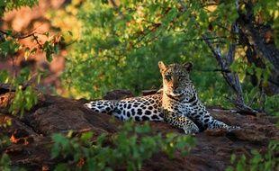 Cette photo, publiée par l'Université de Durham le 19 avril 2017, montre un léopard dans les montagnes de Soutpansberg, en Afrique du Sud, le 25 juin 2012.