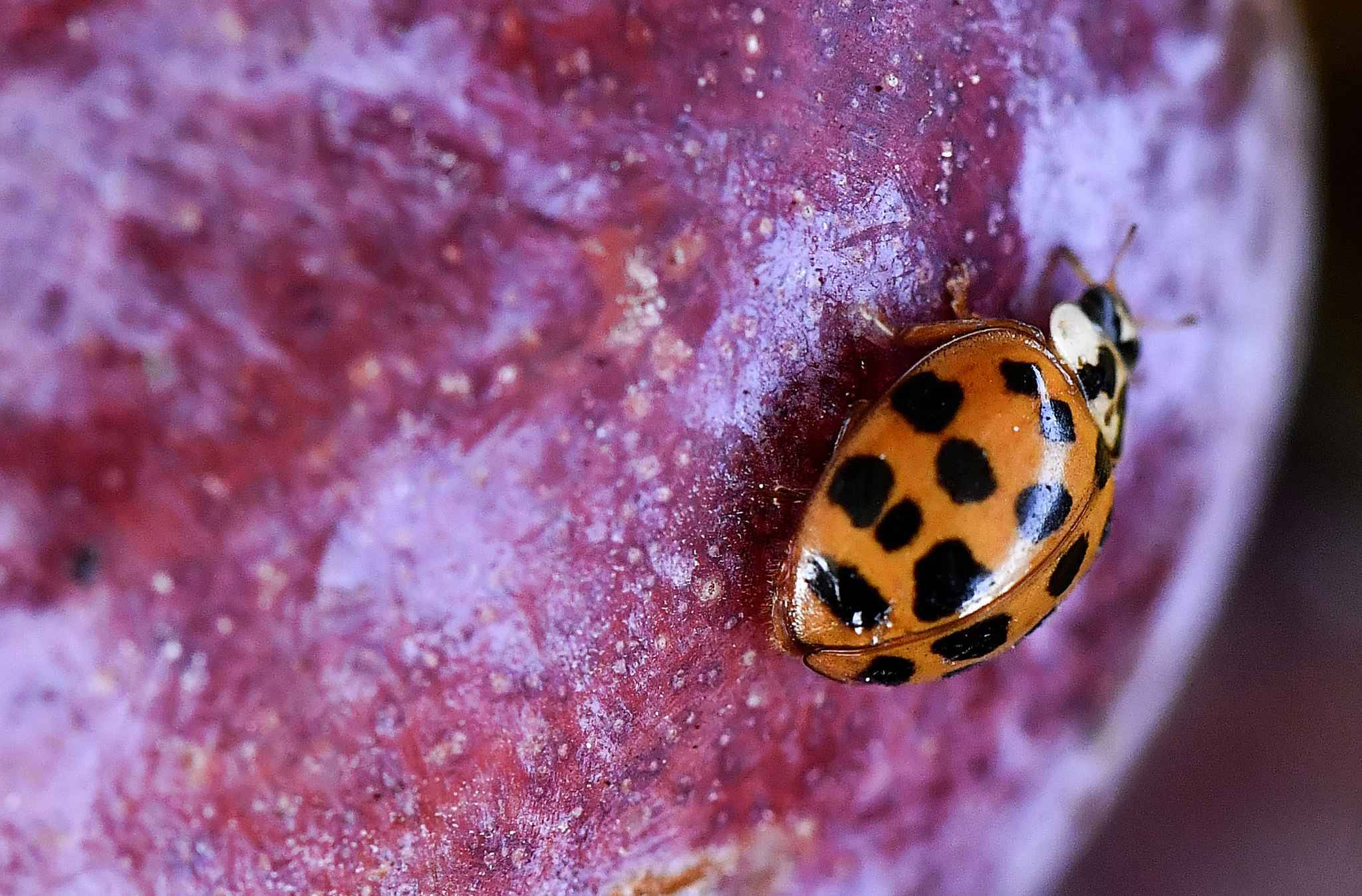 Asian ladybeetle (Harmonia axyridis) is seen on a plum on September 4, 2018, at a farm in Levignac-de-Guyenne, near Agen.