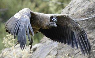 """Un condor des Andes est né en captivité vendredi au parc """"Les Aigles du Léman"""" de Sciez (Haute-Savoie), un événement très rare en Europe et dans le monde, a annoncé le directeur du parc à l'AFP."""