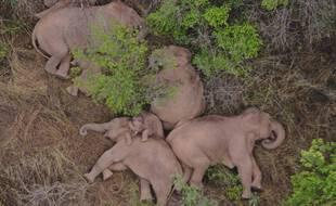 Les éléphants, observés en train de faire la sieste ce lundi.