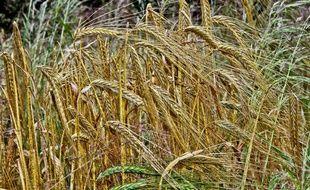 Culture de blé. Image d'illustration.
