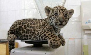 Un Chinois avait prévu d'acheter les bébés jaguars et de les emmener au Honduras. (Illustration).