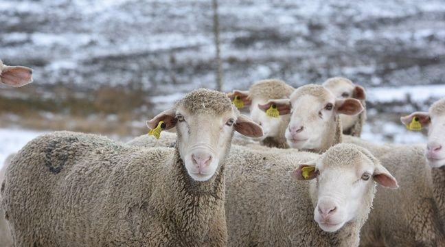 Savoie 6 000 Moutons Evacues Par Camions Apres Avoir Ete Surpris Par Une Quantite De Neige Precoce Exceptionnelle