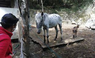 Deux chevaux et une chèvre ont pu être récupérés encore en vie