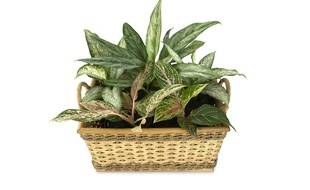 Les feuilles du dieffenbachia, une plante répandue, sont toxiques.