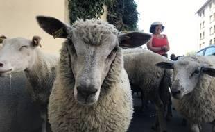 Des moutons urbains lors de première édition de la Transhumance du Grand Paris (6-17 juillet 2019), organisée par Enlarge Your Paris, Les Berges urbains, le Grand Paris. Etape du 10 juillet : Ecole vétérinaire de Maison-Alfort, parc départemental des Cormailles (Ivry), parc du Coteau (Arcueil).