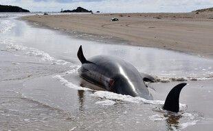 Un dauphin mort après s'être échoué dans la baie de Tasmanie, en Australie, le 24 septembre 2020.
