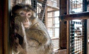 Un macaque crabier (illustration).