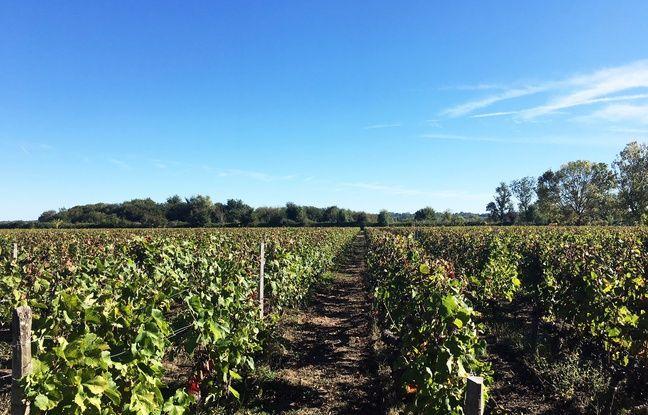 Le vignoble de l'île Margaux est composé des cinq cépages classiques du médoc