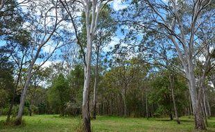 Les eucalyptus poussent dans le Tanneron, massif qui s'étend dans les Var et les Alpes-Maritimes.