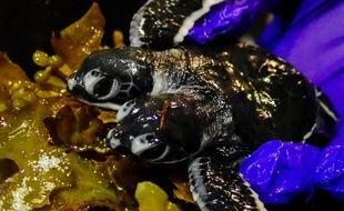 Le petite tortue à deux têtes née en Malaisie n'a survécu que quelques jours.