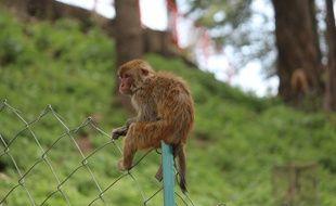 Illustration d'un macaque rhésus.