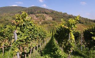 Les vendanges sont fixées au 12 septembre en Alsace pour les vins non pétillants