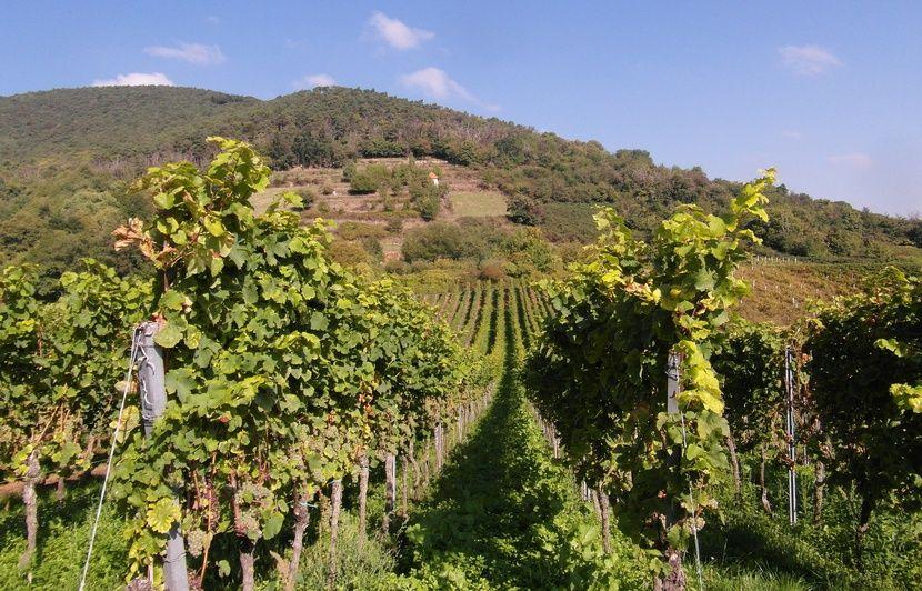 Strasbourg : Les viticulteurs alsaciens peinent à recruter pour les vendanges