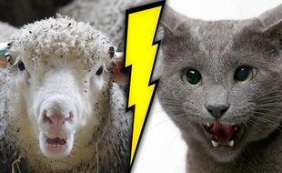 Un duel féroce entre un chat et un mouton dans une ferme
