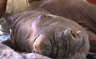 Orion, le rhinocéros élevé au biberon.