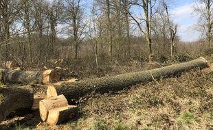 Une centaine de chênes ont été abattus en forêt de Mormal