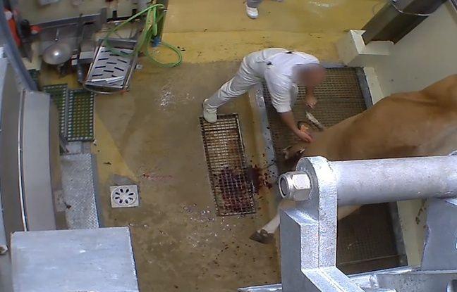 Extrait de la vidéo publiée par L214 dénonçant l'abattoir du Vigan (Gard).
