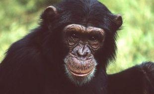 Chimpanzé de la région de l'Afrique de l'Est.