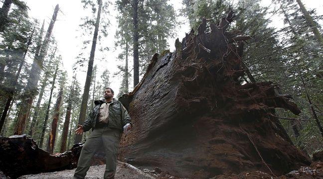 Le Pioneer Cabin Tree terrassé par la tempête en Californie, le 9 janvier 2017. – Rich Pedroncelli/AP/SIPA
