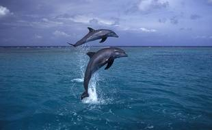 Deux dauphins. (photo illustration)