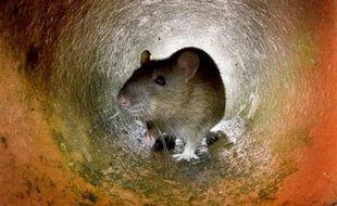 Illustration d'un rat