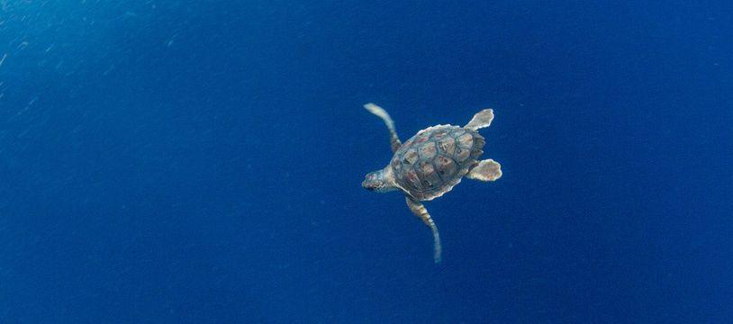 La tortue Léopold recueillie en hypothermie au début de l'été 2017. (Photo d'illustration)