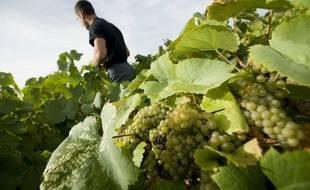 Vendanges dans les vignes du muscadet.