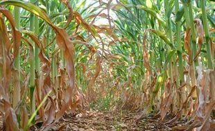 Certains plants de maïs n'ont pas de grains à cause de la sécheresse