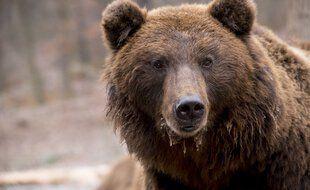 Un ours brun (illustration)