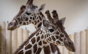 Des girafes d'un zoo en République tchèque, le 13 décembre 2019 (image d'illustration).