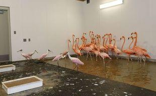 Des Flamands roses du zoo de Miami sont mis à l'abri de l'ouragan Irma