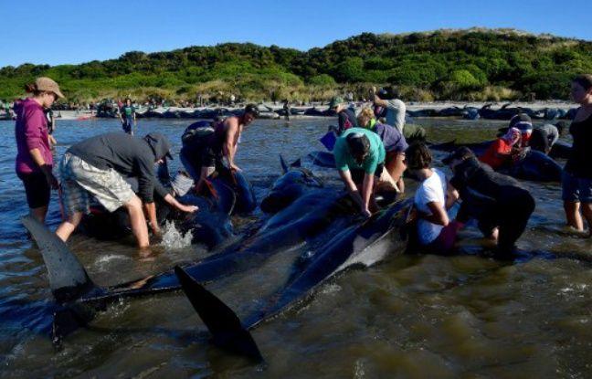 Nouvelle-Zélande: Malgré les efforts des volontaires, 200 baleines s'échouent à nouveau dans actualitas fr 648x415_volontaires-repoussent-baleines-pilotes-echouees-plage-farewell-spit-nouvelle-zelande-11-fevrier-2017