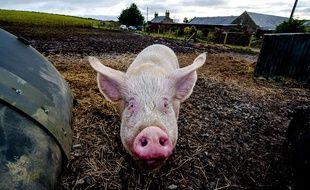 Un cochon dans une ferme en Ecosse, le 23 novembre 2013.