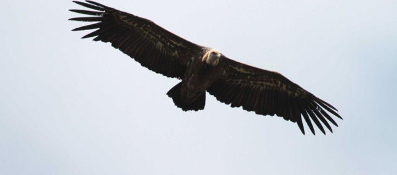 Un vautour fauve dans le ciel du Parc national des Cévennes.