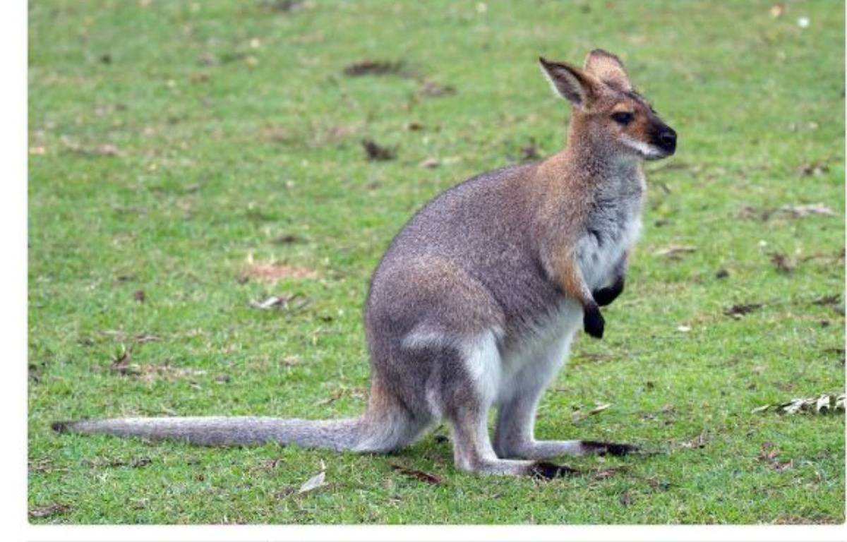 Un wallaby (Illustration). – Compte Twitter de la préfecture de Seine-et-Marne
